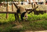 Panda's in Beijing Zoo 2